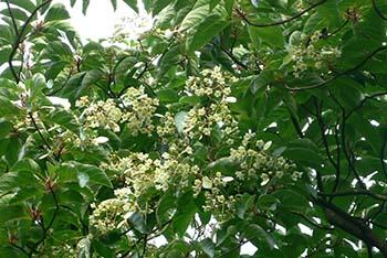 Arboretum_Kalmthout_Emmenopterys_flowers_2006_2_350L