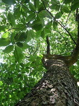 Arboretum_Kalmthout_emmenopterys_tree_2009_350H