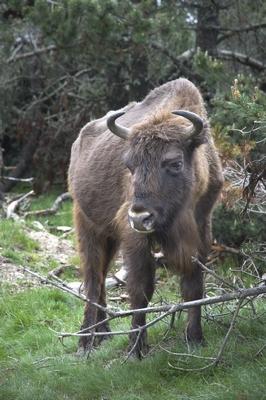 La réserve des bisons d'Europe